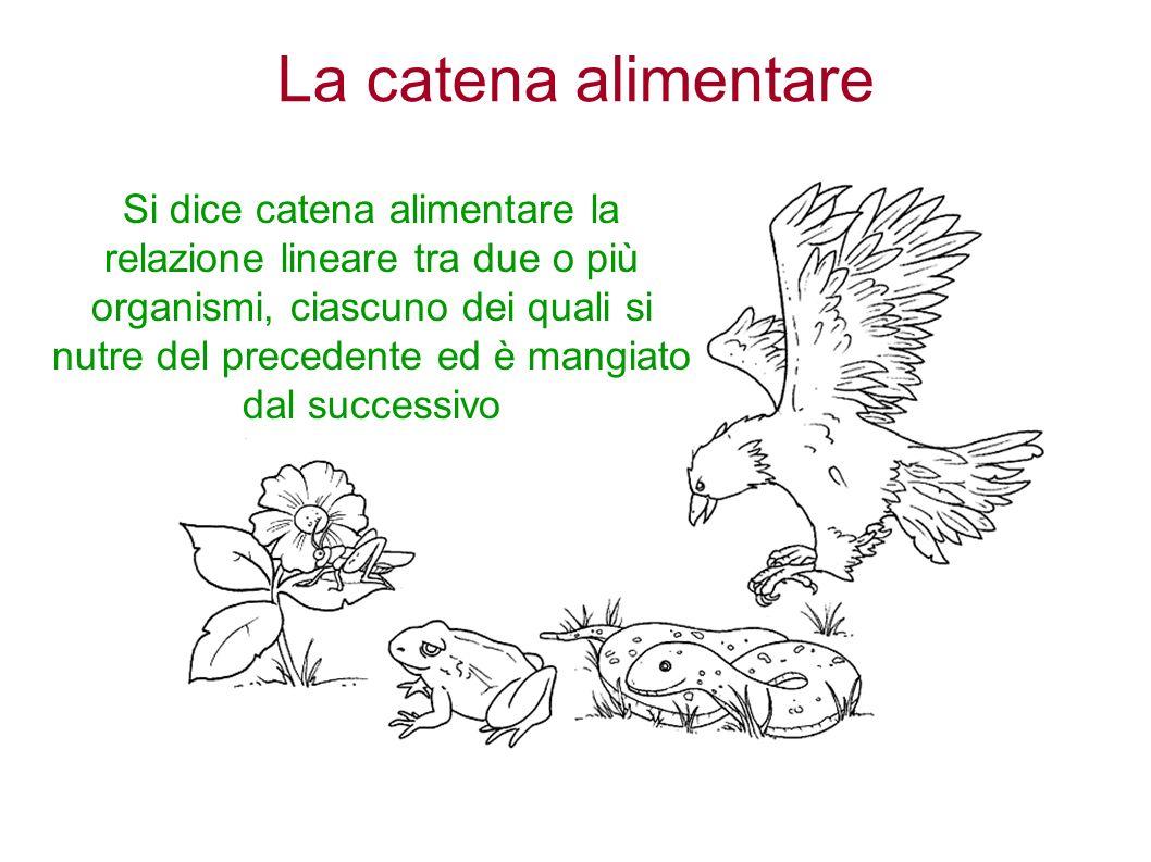 La catena alimentare Si dice catena alimentare la relazione lineare tra due o più organismi, ciascuno dei quali si nutre del precedente ed è mangiato dal successivo