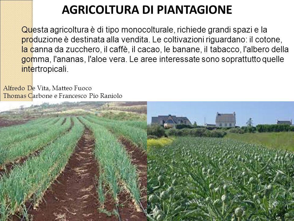 AGRICOLTURA DI PIANTAGIONE Alfredo De Vita, Matteo Fuoco Thomas Carbone e Francesco Pio Raniolo Questa agricoltura è di tipo monocolturale, richiede grandi spazi e la produzione è destinata alla vendita.