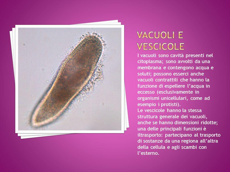 I vacuoli sono cavità presenti nel citoplasma; sono avvolti da una membrana e contengono acqua e soluti; possono esserci anche vacuoli contrattili che