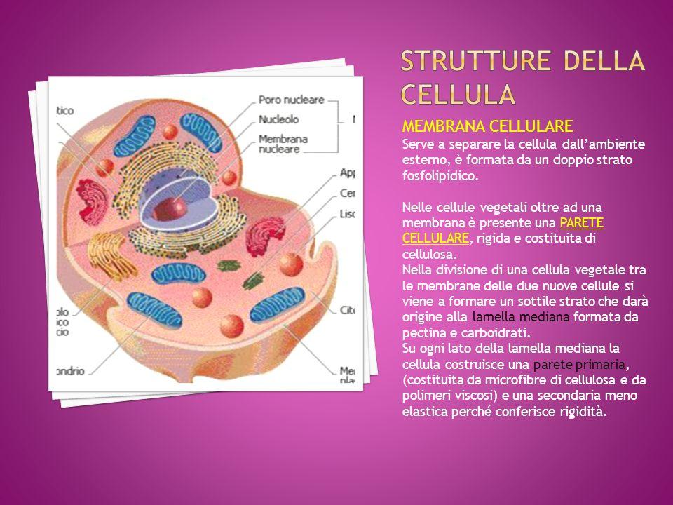 MEMBRANA CELLULARE Serve a separare la cellula dall'ambiente esterno, è formata da un doppio strato fosfolipidico. Nelle cellule vegetali oltre ad una