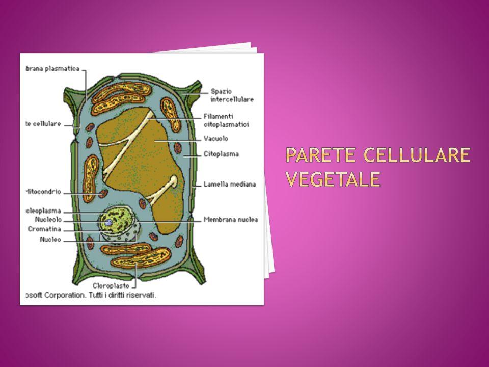 L'apparato di Golgi è costituito da quattro o più sacchi appiattiti chiamati cisterne.
