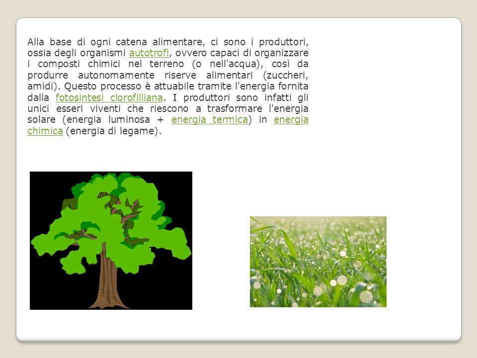 Alla base di ogni catena alimentare, ci sono i produttori, ossia degli organismi autotrofi, ovvero capaci di organizzare i composti chimici nel terreno (o nell acqua), così da produrre autonomamente riserve alimentari (zuccheri, amidi).