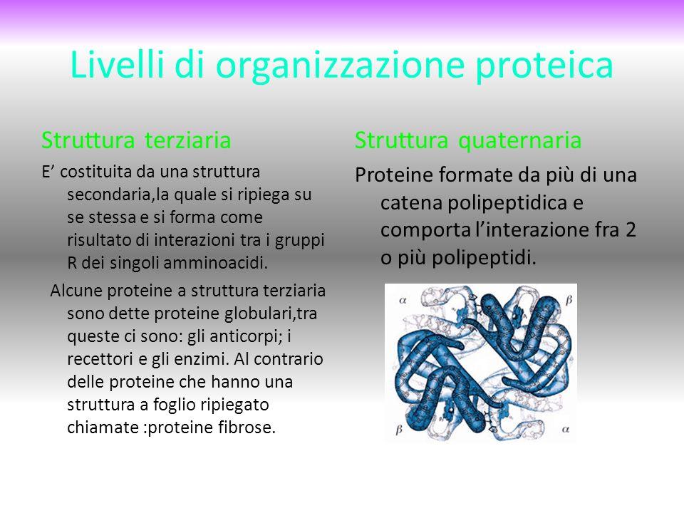 Livelli di organizzazione proteica Struttura terziaria E' costituita da una struttura secondaria,la quale si ripiega su se stessa e si forma come risultato di interazioni tra i gruppi R dei singoli amminoacidi.