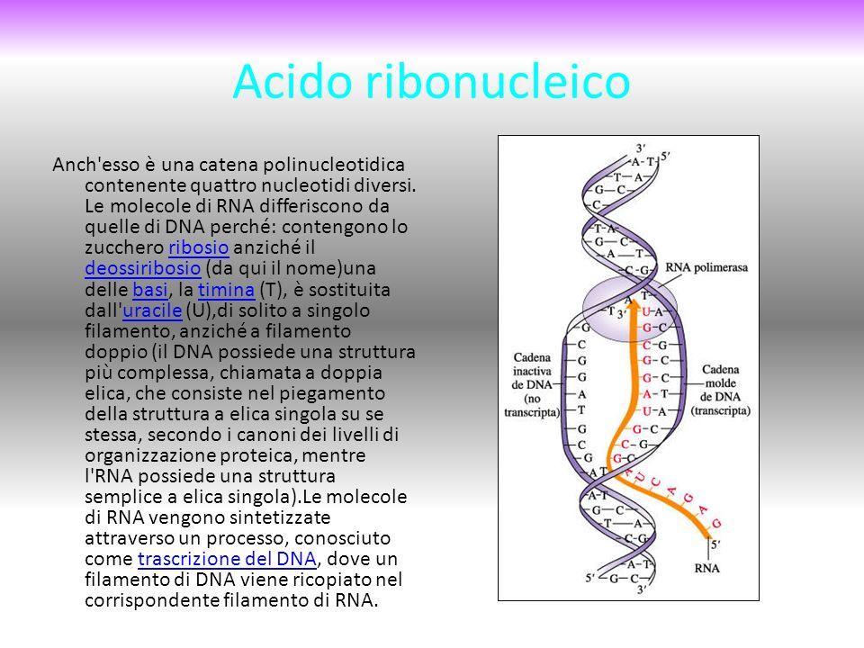 Acido ribonucleico Anch esso è una catena polinucleotidica contenente quattro nucleotidi diversi.