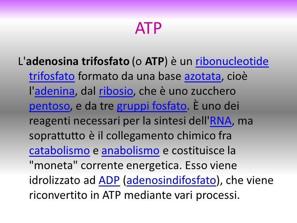 ATP L adenosina trifosfato (o ATP) è un ribonucleotide trifosfato formato da una base azotata, cioè l adenina, dal ribosio, che è uno zucchero pentoso, e da tre gruppi fosfato.