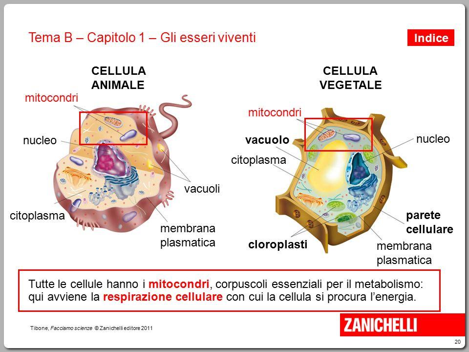 20 Tibone, Facciamo scienze © Zanichelli editore 2011 Tema B – Capitolo 1 – Gli esseri viventi mitocondri vacuoli membrana plasmatica nucleo citoplasm