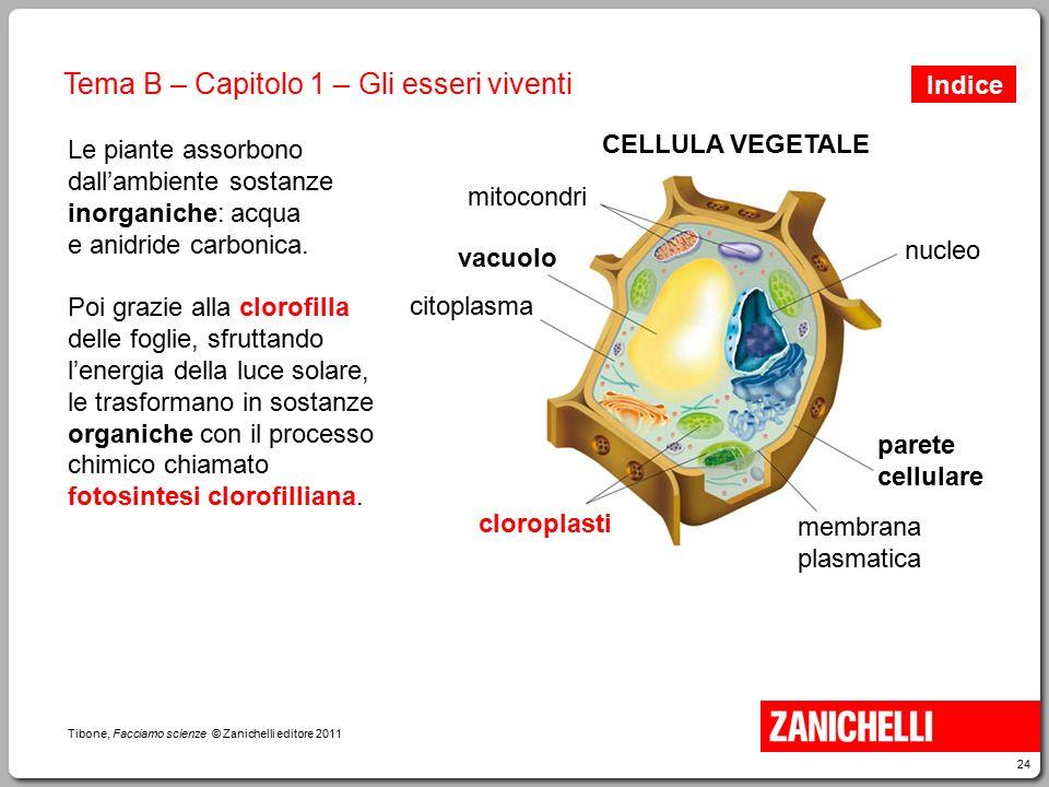 24 Tibone, Facciamo scienze © Zanichelli editore 2011 Tema B – Capitolo 1 – Gli esseri viventi CELLULA VEGETALE mitocondri vacuolo membrana plasmatica