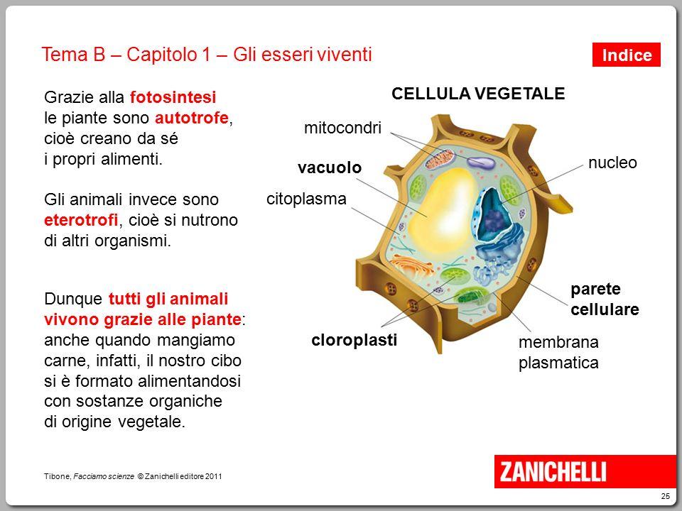 25 Tibone, Facciamo scienze © Zanichelli editore 2011 Tema B – Capitolo 1 – Gli esseri viventi Grazie alla fotosintesi le piante sono autotrofe, cioè