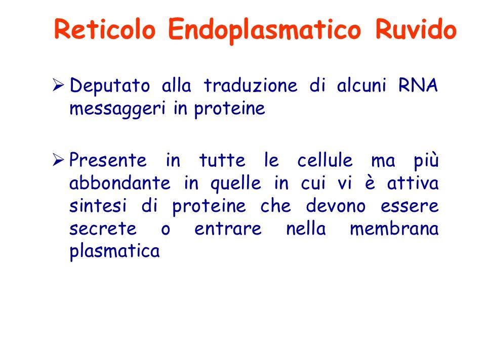  Deputato alla traduzione di alcuni RNA messaggeri in proteine  Presente in tutte le cellule ma più abbondante in quelle in cui vi è attiva sintesi di proteine che devono essere secrete o entrare nella membrana plasmatica Reticolo Endoplasmatico Ruvido