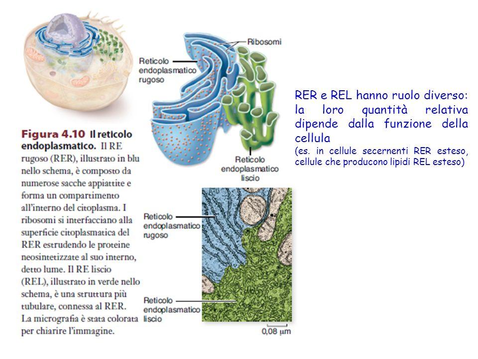 RER e REL hanno ruolo diverso: la loro quantità relativa dipende dalla funzione della cellula (es.