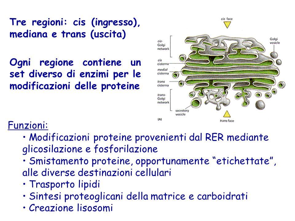 Funzioni: Modificazioni proteine provenienti dal RER mediante glicosilazione e fosforilazione Smistamento proteine, opportunamente etichettate , alle diverse destinazioni cellulari Trasporto lipidi Sintesi proteoglicani della matrice e carboidrati Creazione lisosomi Tre regioni: cis (ingresso), mediana e trans (uscita) Ogni regione contiene un set diverso di enzimi per le modificazioni delle proteine