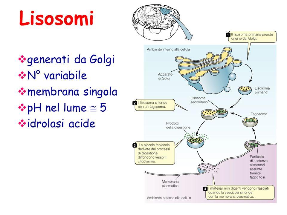 Lisosomi  generati da Golgi  N° variabile  membrana singola  pH nel lume  5  idrolasi acide