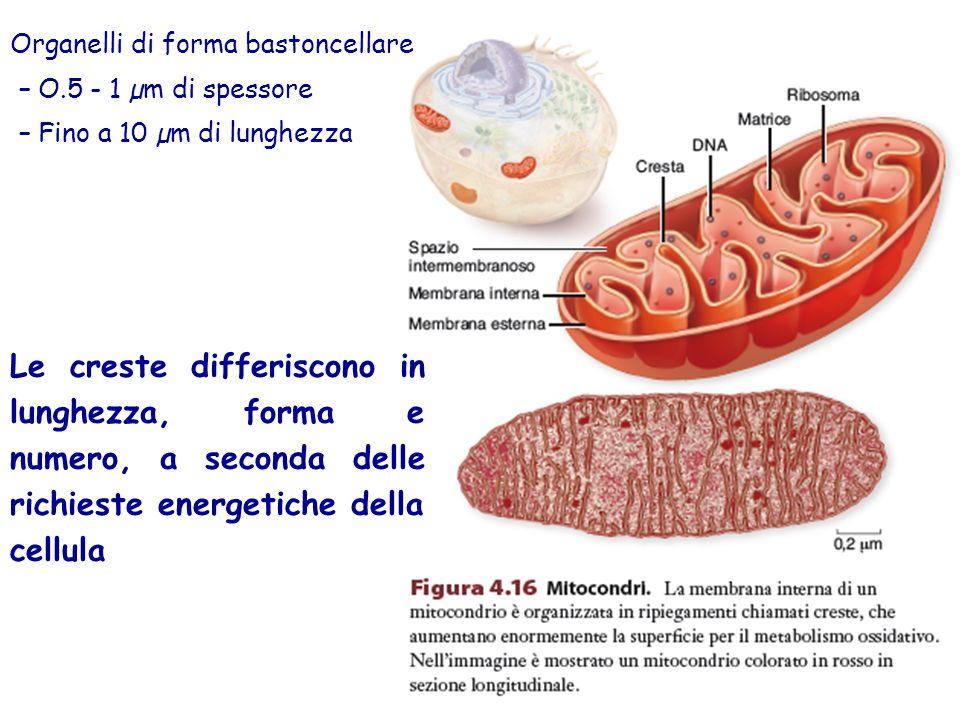Organelli di forma bastoncellare –O.5 - 1 µm di spessore –Fino a 10 µm di lunghezza Le creste differiscono in lunghezza, forma e numero, a seconda delle richieste energetiche della cellula