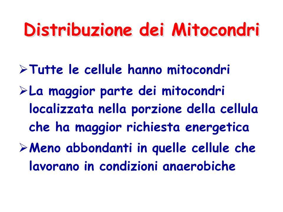 Distribuzione dei Mitocondri  Tutte le cellule hanno mitocondri  La maggior parte dei mitocondri localizzata nella porzione della cellula che ha maggior richiesta energetica  Meno abbondanti in quelle cellule che lavorano in condizioni anaerobiche
