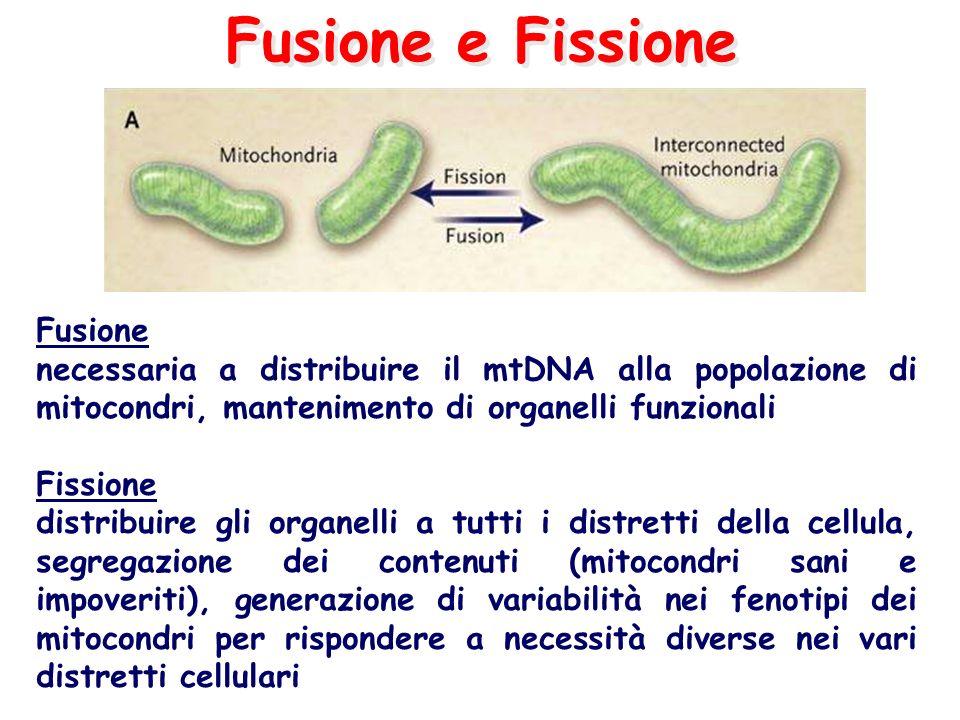 Fusione e Fissione Fusione necessaria a distribuire il mtDNA alla popolazione di mitocondri, mantenimento di organelli funzionali Fissione distribuire gli organelli a tutti i distretti della cellula, segregazione dei contenuti (mitocondri sani e impoveriti), generazione di variabilità nei fenotipi dei mitocondri per rispondere a necessità diverse nei vari distretti cellulari