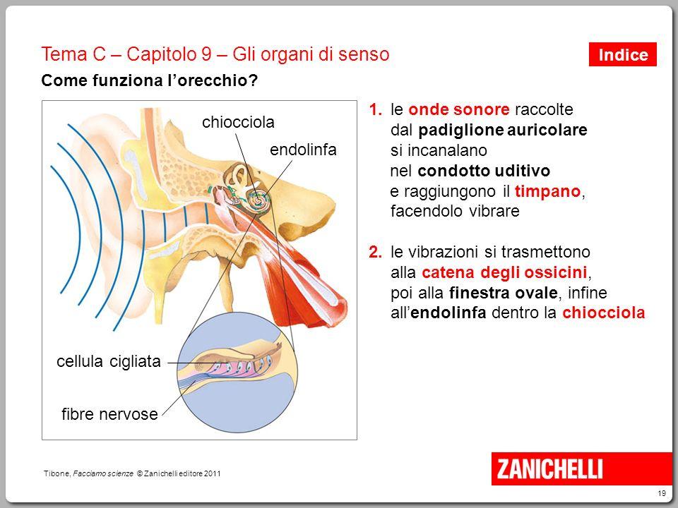 19 Tibone, Facciamo scienze © Zanichelli editore 2011 Tema C – Capitolo 9 – Gli organi di senso Come funziona l'orecchio? 1.le onde sonore raccolte da