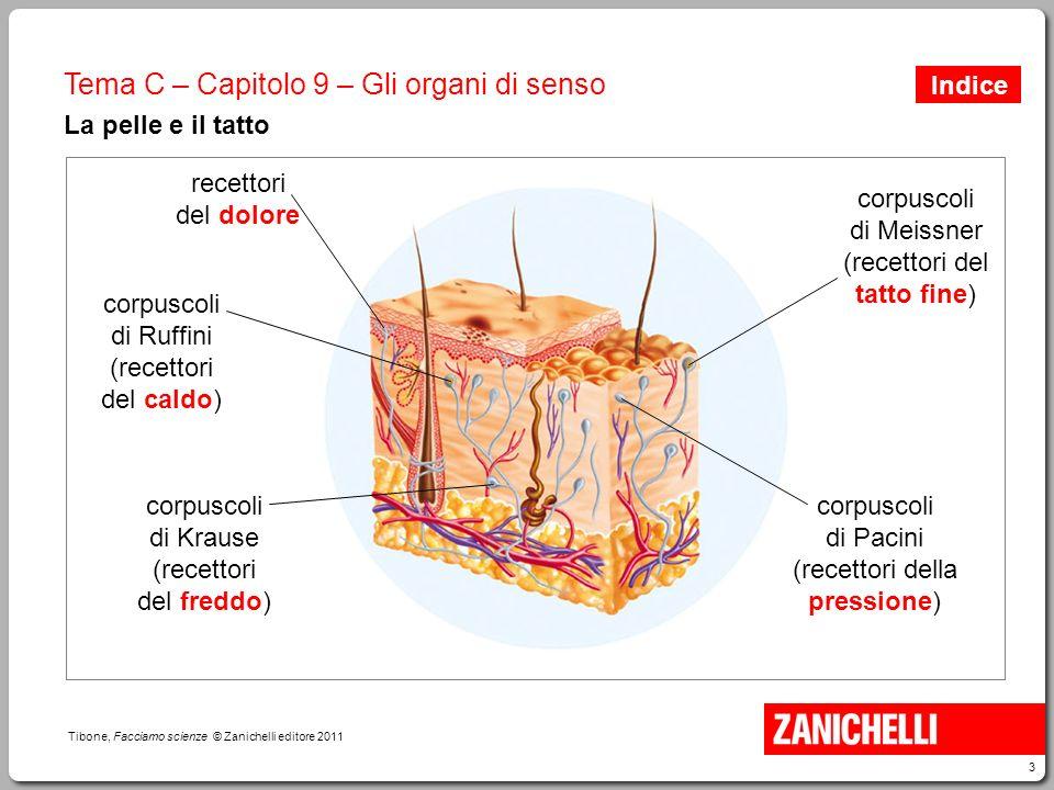 3 Tibone, Facciamo scienze © Zanichelli editore 2011 Tema C – Capitolo 9 – Gli organi di senso La pelle e il tatto corpuscoli di Ruffini (recettori de