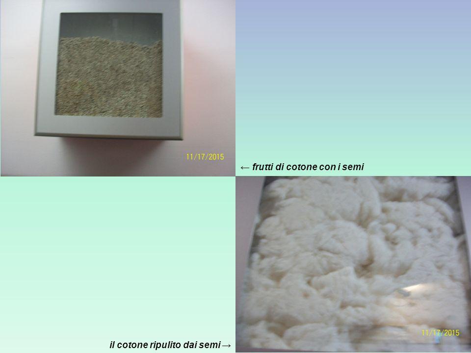 il cotone ripulito dai semi → ← frutti di cotone con i semi