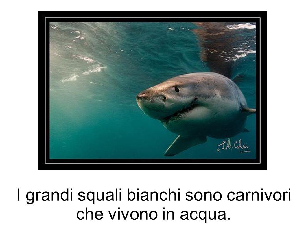 I grandi squali bianchi sono carnivori che vivono in acqua.