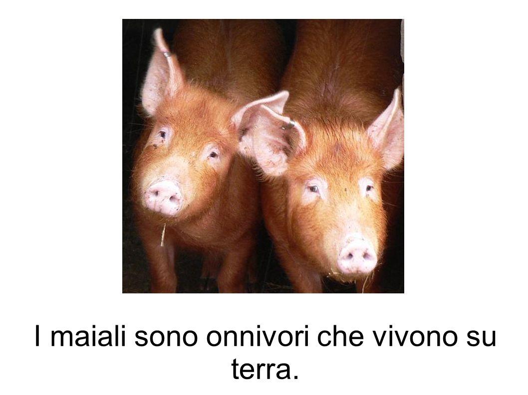I maiali sono onnivori che vivono su terra.