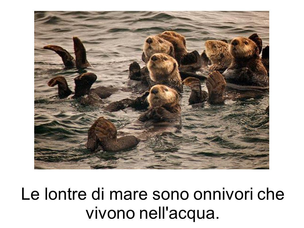 Le lontre di mare sono onnivori che vivono nell acqua.