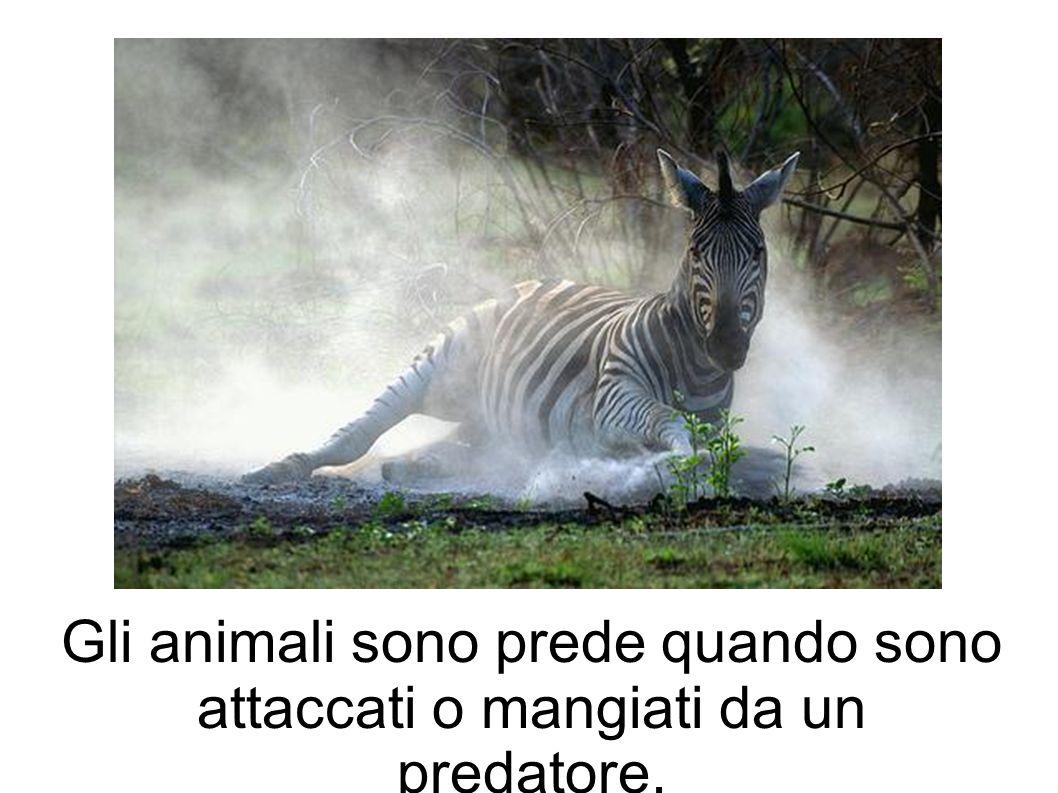 Gli animali sono prede quando sono attaccati o mangiati da un predatore.