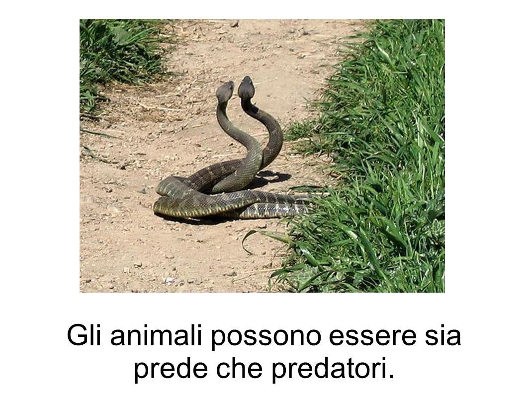 Gli animali possono essere sia prede che predatori.