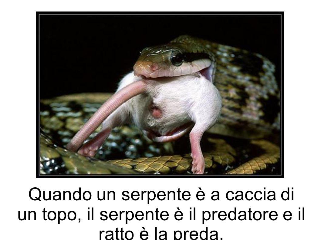 Quando un serpente è a caccia di un topo, il serpente è il predatore e il ratto è la preda.