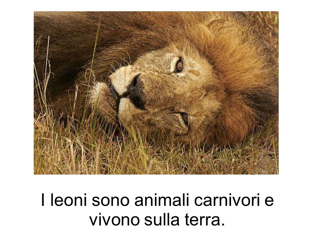 I leoni sono animali carnivori e vivono sulla terra.