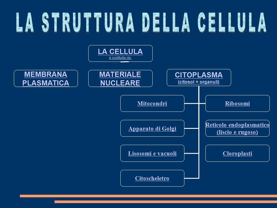 LA CELLULA è costituita da: MEMBRANA PLASMATICA MATERIALE NUCLEARE CITOPLASMA (citosol + organuli) MitocondriRibosomi Apparato di Golgi Reticolo endoplasmatico (liscio e rugoso) Lisosomi e vacuoliCloroplasti Citoscheletro