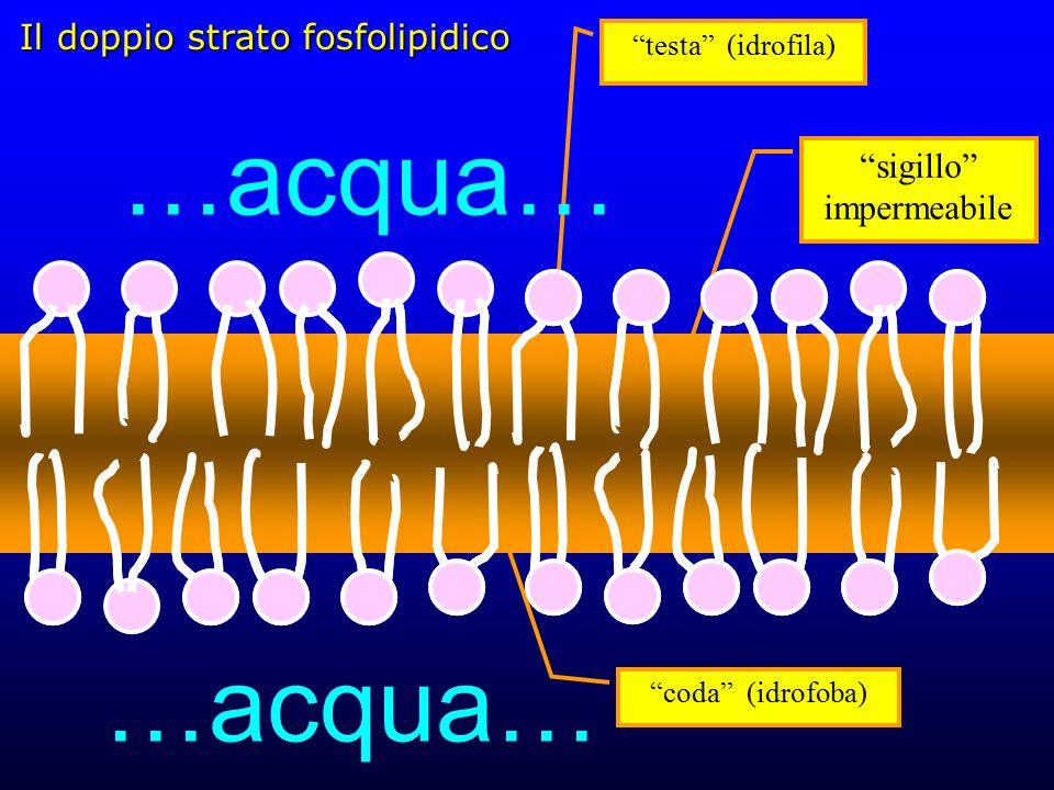 Il doppio strato fosfolipidico coda (idrofoba) testa (idrofila) …acqua… sigillo impermeabile