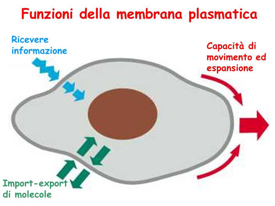 Funzioni della membrana plasmatica Ricevere informazione Import-export di molecole Capacità di movimento ed espansione