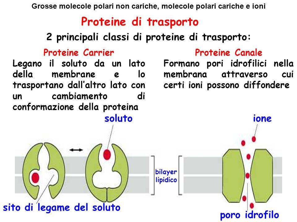 Proteine di trasporto 2 principali classi di proteine di trasporto: Proteine Carrier Legano il soluto da un lato della membrane e lo trasportano dall'altro lato con un cambiamento di conformazione della proteina Proteine Canale Formano pori idrofilici nella membrana attraverso cui certi ioni possono diffondere solutoione bilayer lipidico sito di legame del soluto poro idrofilo Grosse molecole polari non cariche, molecole polari cariche e ioni