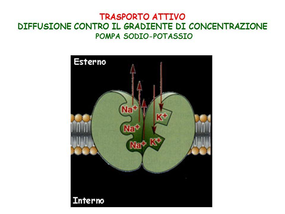 TRASPORTO ATTIVO DIFFUSIONE CONTRO IL GRADIENTE DI CONCENTRAZIONE POMPA SODIO-POTASSIO