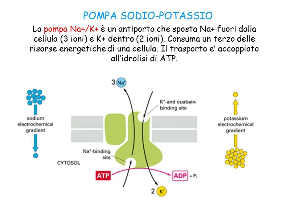 POMPA SODIO-POTASSIO La pompa Na+/K+ è un antiporto che sposta Na+ fuori dalla cellula (3 ioni) e K+ dentro (2 ioni).