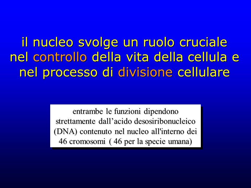 il nucleo svolge un ruolo cruciale nel controllo della vita della cellula e nel processo di divisione cellulare entrambe le funzioni dipendono strettamente dall'acido desosiribonucleico (DNA) contenuto nel nucleo all interno dei 46 cromosomi ( 46 per la specie umana)