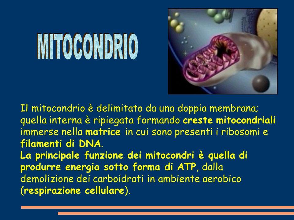 Il mitocondrio è delimitato da una doppia membrana; quella interna è ripiegata formando creste mitocondriali immerse nella matrice in cui sono presenti i ribosomi e filamenti di DNA.