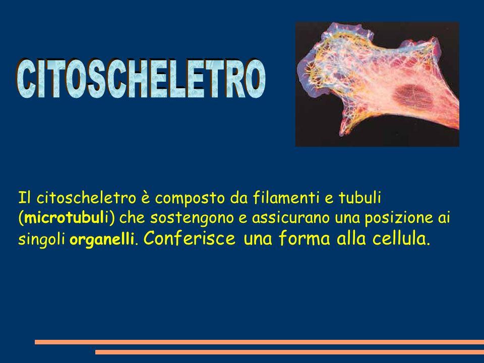 Il citoscheletro è composto da filamenti e tubuli (microtubuli) che sostengono e assicurano una posizione ai singoli organelli.