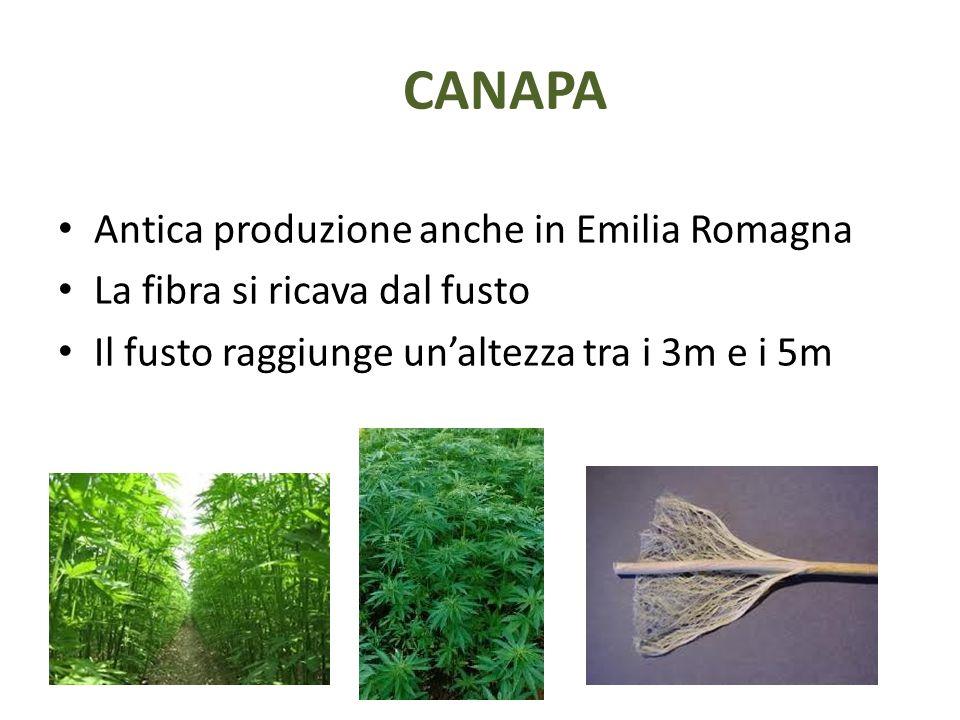 CANAPA Antica produzione anche in Emilia Romagna La fibra si ricava dal fusto Il fusto raggiunge un'altezza tra i 3m e i 5m