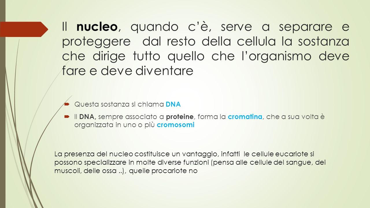Il nucleo, quando c'è, serve a separare e proteggere dal resto della cellula la sostanza che dirige tutto quello che l'organismo deve fare e deve dive