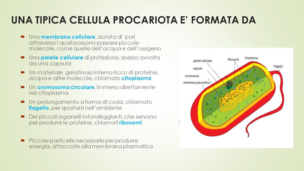 UNA TIPICA CELLULA PROCARIOTA E' FORMATA DA  Una membrana cellulare, dotata di pori attraverso i quali possono passare piccole molecole, come quelle