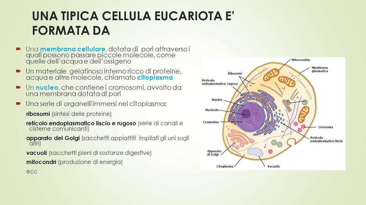 UNA TIPICA CELLULA EUCARIOTA E' FORMATA DA  Una membrana cellulare, dotata di pori attraverso i quali possono passare piccole molecole, come quelle d