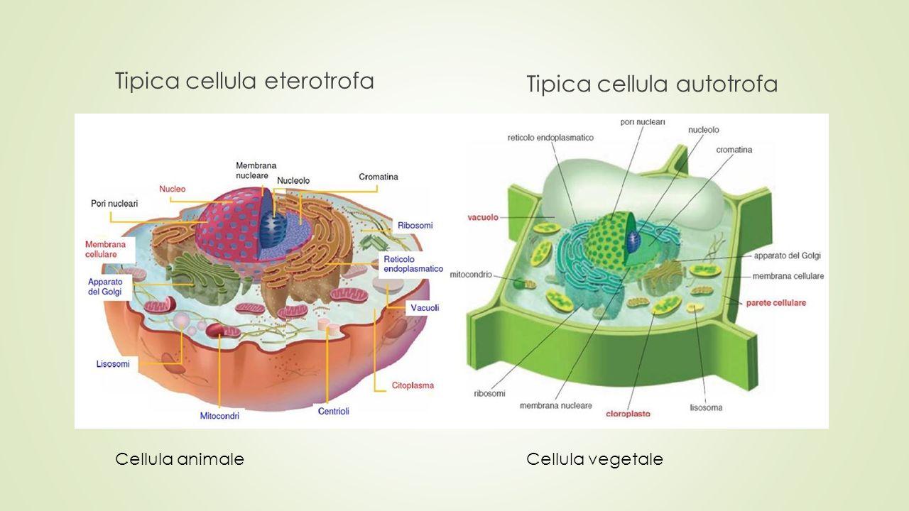 Tipica cellula eterotrofa Tipica cellula autotrofa Cellula animale Cellula vegetale