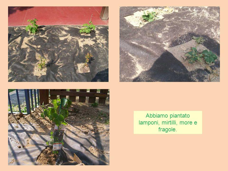 Abbiamo piantato lamponi, mirtilli, more e fragole.