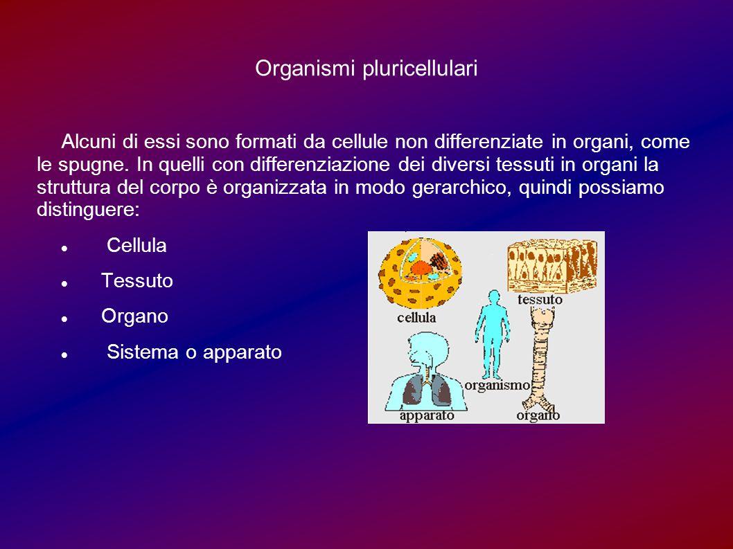 Organismi pluricellulari Alcuni di essi sono formati da cellule non differenziate in organi, come le spugne. In quelli con differenziazione dei divers