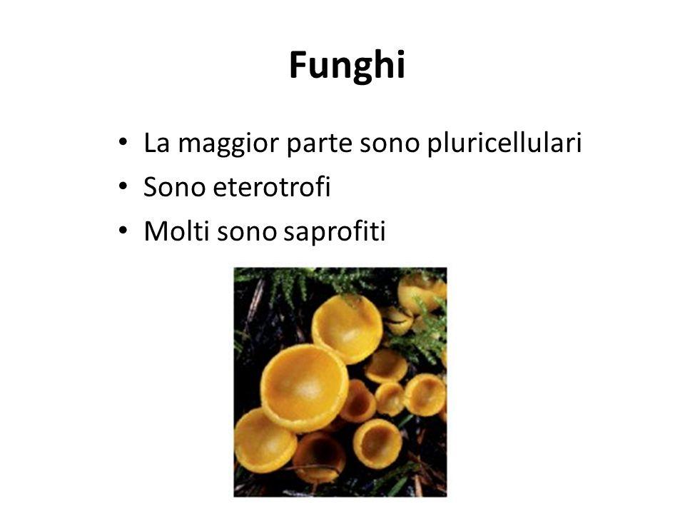 Funghi La maggior parte sono pluricellulari Sono eterotrofi Molti sono saprofiti