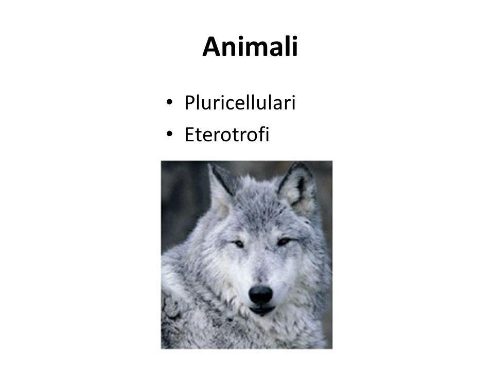Animali Pluricellulari Eterotrofi