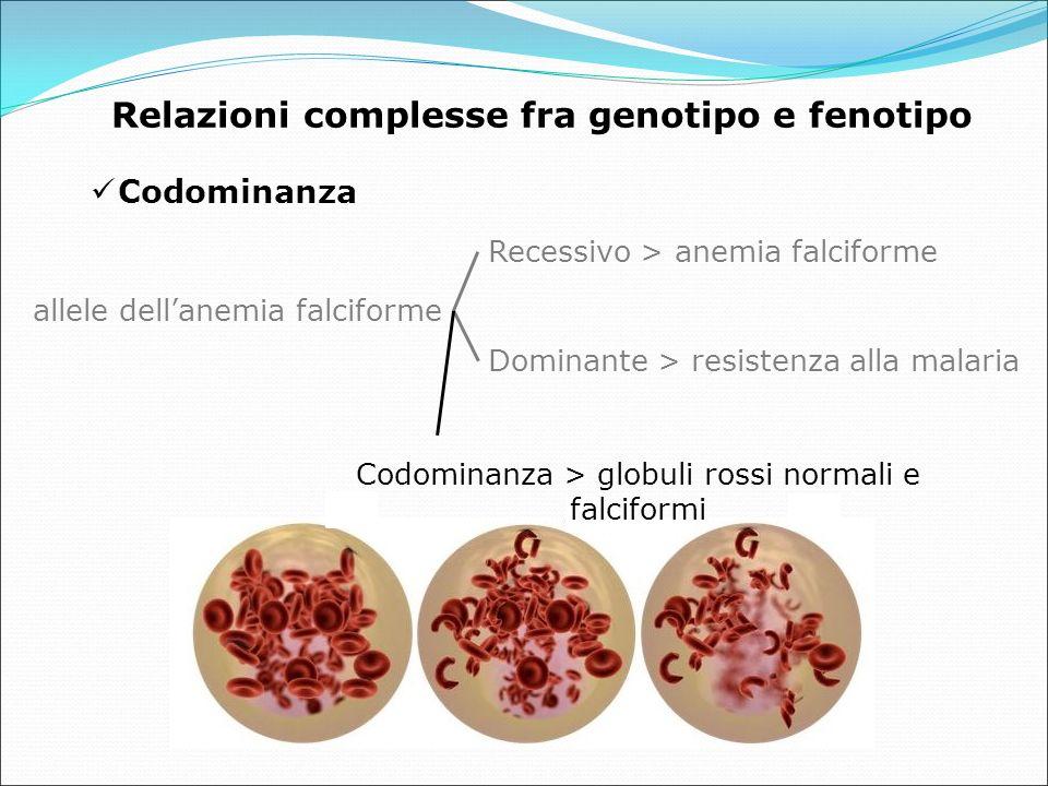 Codominanza allele dell'anemia falciforme Recessivo > anemia falciforme Dominante > resistenza alla malaria Relazioni complesse fra genotipo e fenotipo Codominanza > globuli rossi normali e falciformi