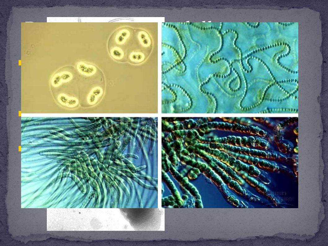 Definiti comunemente batteri si dividono in due grossi gruppi con poche relazioni fra loro: Eu e Archea Hanno cellule piccole e il loro materiale genetico è sparso nel citoplasma Alcuni batteri, i cianobatteri, utilizzano la luce solare perciò sono capaci di fotosintesi