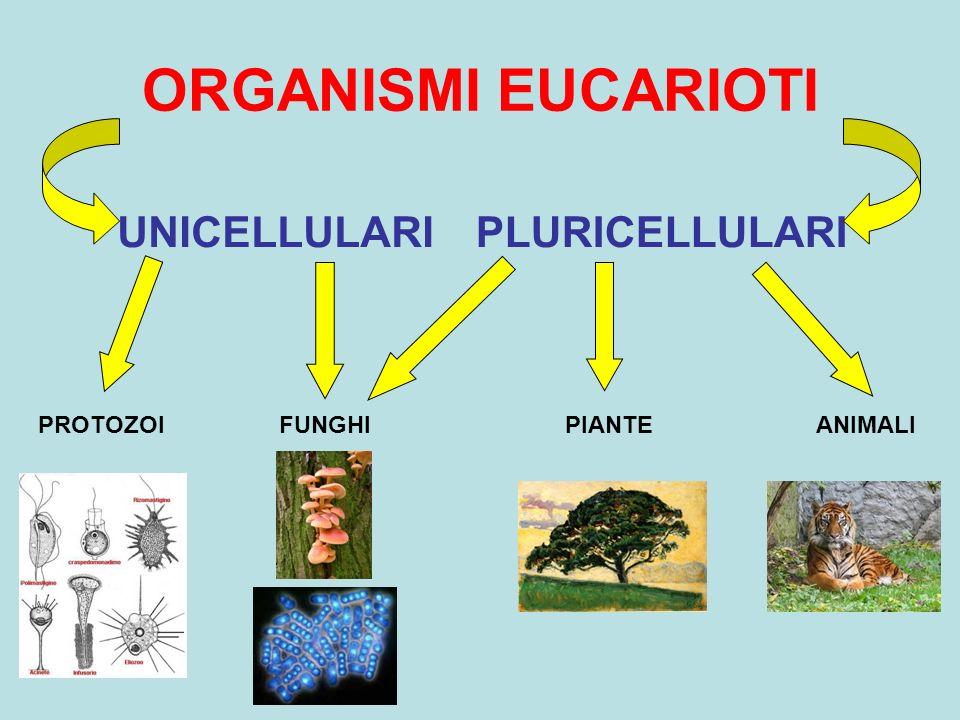 ORGANISMI EUCARIOTI PLURICELLULARI PROTOZOIFUNGHIPIANTEANIMALI UNICELLULARI